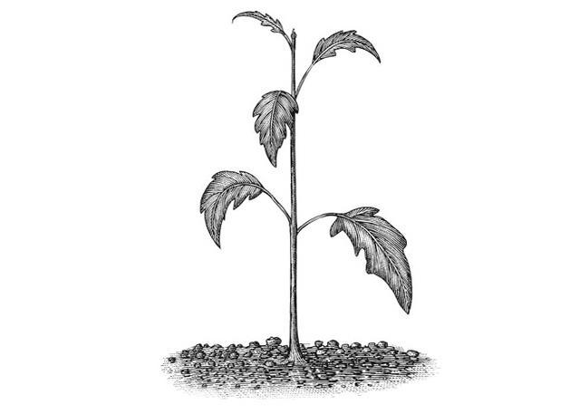 Steven Noble Illustrations: Tomato Seedling